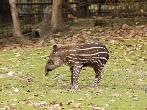 Mládě tapíra dostane v brněnské zoo jméno Celestýna