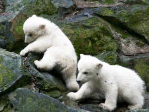 V hlasování o jménech medvědů vedou Nanuk a Bella