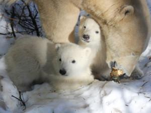 Lední medvíďata jsou kluk a holka