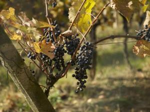 V sobotu na tradiční putování slováckými vinohrady