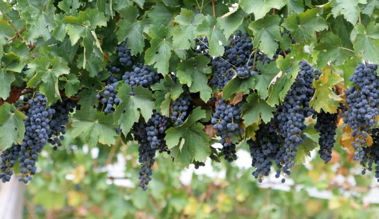 Brno bude pod Špilberkem pěstovat vlastní víno