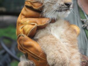 Návštěvníci zoo už si mohou prohlédnout rysí čtyřčata