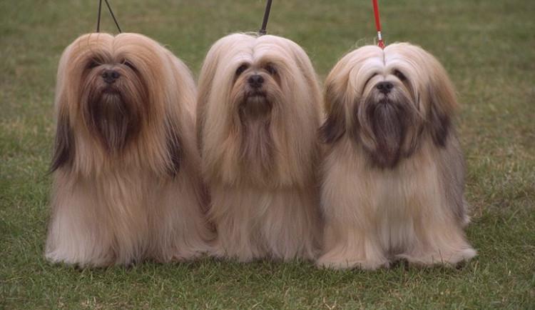 Na výstaviště dorazí na Evropskou výstavu psů přes dvacet tisíc soutěžících