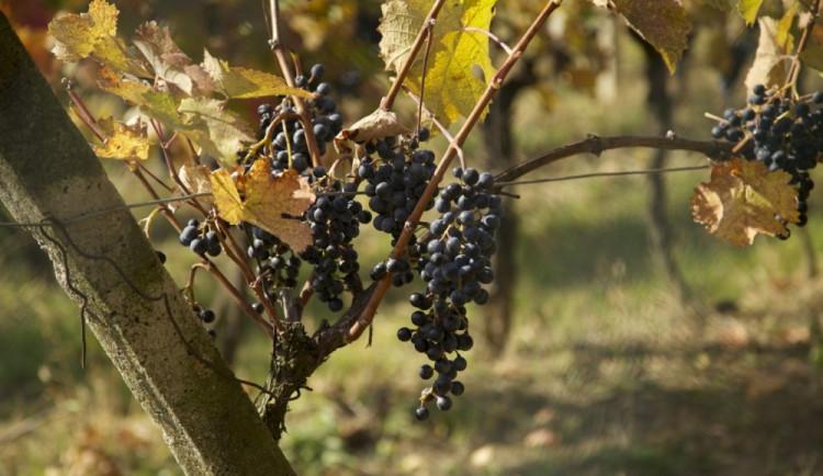 Chladné počasí vinařům starosti nedělá, chválí dostatek vláhy