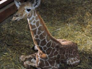 Žirafy oslaví v neděli svůj den