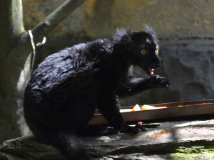 Rodinka lemurů černých se zabydluje v brněnské zoo