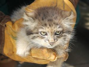 Brněnská zoo úspěšně odchovala čtyřčata kočkovitých manulů