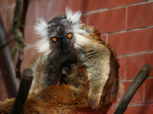Brněnskou zoo rozšířilo mládě lemura tmavého