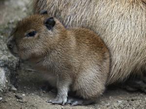 Brněnskou zoo obohatilo mládě kapybary