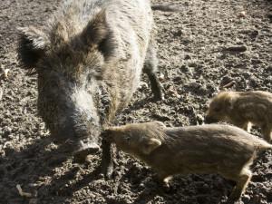 Hon na divoká prasata: Počet ulovených divočáků na jižní Moravě by mohl vzrůst až o 30 procent