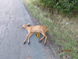 Policisté varují: Na jihu Moravy jsou letos častější srážky se zvěří. Řidiči, buďte opatrní!