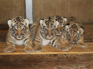 Hodonínskou zoo zdobí tygří čtyřčata, jsou zdravá a mají se čile k světu