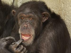 Brněnská zoo zahájila stavbu moderního výběhu pro šimpanze za čtyřicet milionů