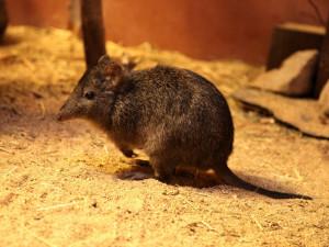 Brněnskou zoo rozšířila skupinka drobounkých klokánků