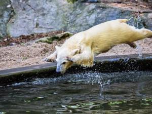 Brněnská zoo přijde o svého miláčka. Dvouletá lední medvědice Noria se stěhuje do Německa