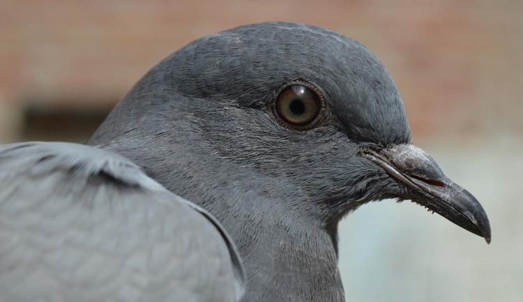 Volby v Brně narušil holub