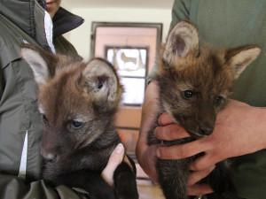 Hodonínská zoo slaví narození mláďat vlka hřivnatého