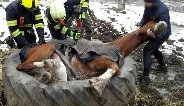FOTO: Hasiči vyprošťovali koně, který se zasekl v pneumatice