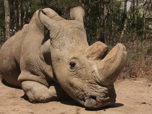 ZE SVĚTA: Zemřel poslední samec nosorožce severního bílého na světě. Život prožil v Česku