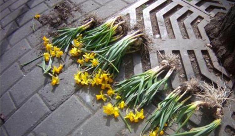 Žena vytrhala u Šilingráku z veřejného záhonu dvacet narcisů, prý tchyni na hrob