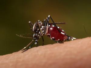 Na jižní Moravě se pohybují komáři infikovaní smrtelně nebezpečnou západonilskou horečkou
