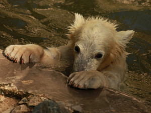 Miláček Brňanů, lední medvědice Noria se stěhuje do Německa