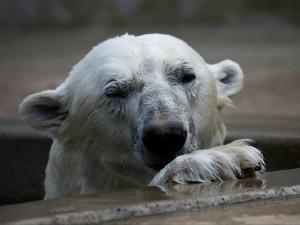 V brněnské zoo zemřel lední medvěd Umca