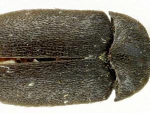 Vědci našli u soutoku Moravy a Dyje nového brouka, dostal jméno kožojed moravský