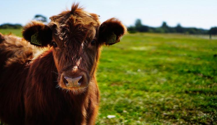 Býk utekl z převozu na jatka na Slovensku. Přeplaval Moravu a skončil v Hodoníně, tam ho zastřelili