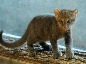 V brněnské zoo se narodilo vzácné kotě jaguarundi. Chovatelé ani nevěděli, že je samice březí