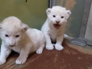 FOTO: V hodonínské zoo se narodil páreček malých afrických lvíčat
