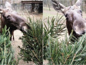 Zvířata v brněnské zoo si opět pochutnávají na neprodaných vánočních stromcích