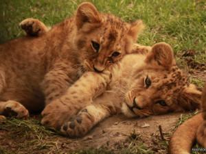 Brněnská zoo trhala v roce 2018 návštěvnické rekordy. Lidé se nejvíce těšili na lvíčata