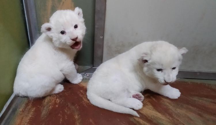 FOTO: V hodonínské zoo už mohou návštěvníci vidět vzácná bílá lvíčata