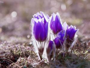 FOTO: Na Kamenném vrchu v Brně už kvetou koniklece