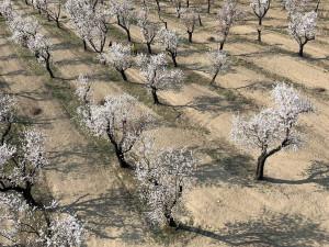 FOTO: Přesně v den slavností rozkvetly v Hustopečích mandloně