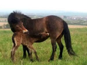 Divocí koně z Podyjí mají první hříbě