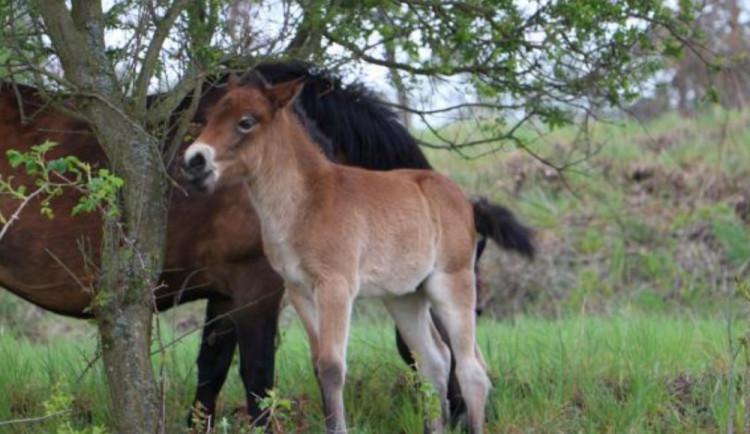FOTO: Stáda divokých koní v Podyjí se rozrostla o šest hříbat