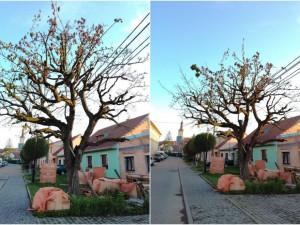 Do staré hrušně někdo úmyslně navrtal díry a nalil neznámou látku, strom uschl