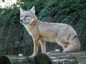 Návštěvníci brněnské zoo se mohou těšit na korsaky