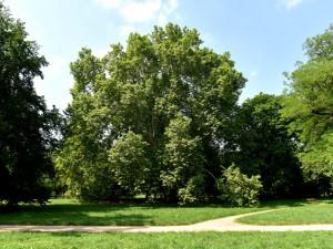 Vzrostlý platan z brněnských Lužánek soutěží o titul Strom roku