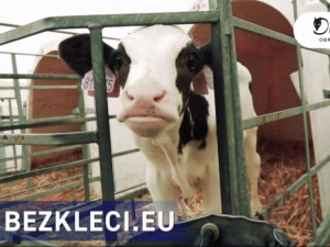 VIDEO: Aktivisté zveřejnili nové záběry z českých chovů. Natočili mrtvá selata i otrhané slepice