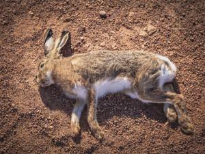 Jed na pole u Brna rozházel podnik Bonagro, uhynuly desítky zajíců