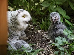Brněnská zoo se po více než dvaceti letech těší z mláďat sovice sněžní