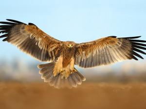 Kriticky ohroženému orlu královskému se na jižní Moravě daří. Jen letos vyvedli šest mláďat
