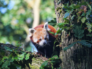 Brněnská zoo se obohatila o novou samičku pandy červené jménem Oshin