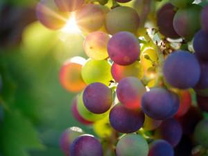 Počasí vínu přeje. Letošní sezóna by mohla být vynikající, říká odborník