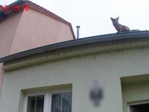 Bystrouška V Komíně. Za komín si sedla liška a odmítala odejít, ze střechy ji přijely sundat policistky