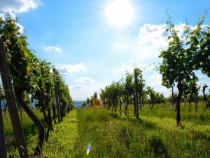 Obrovská hejna špačků likvidují vinařům na jižní Moravě nejkvalitnější hrozny