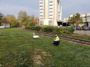 Po Poříčí se procházela zraněná labuť, strážníci ji převezli do Ptačího centra